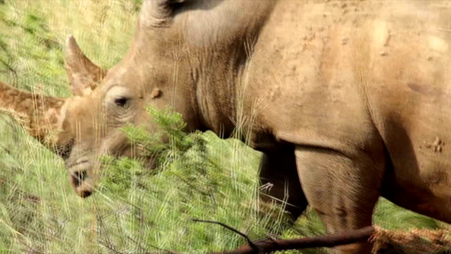 ts cu white rhinoceros walking across shallow muddy pool/ south africa - shallow stock videos and b-roll footage
