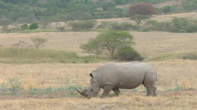 ws, pan, white rhinoceros (ceratotherium simum) walking through savannah, kruger national park, south africa - rhinoceros stock videos & royalty-free footage