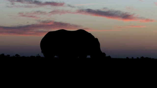 white rhinoceroses silhouetted against sunset/ south africa - rhinoceros stock videos & royalty-free footage
