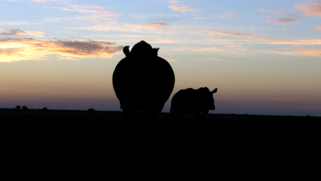 White Rhinoceroses silhouetted against sunset/ South Africa