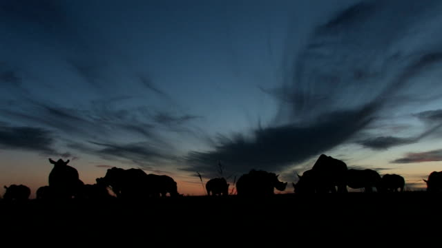 white rhinoceroses silhouetted against sunset/ south africa - controluce video stock e b–roll