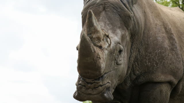 white rhinocerous - rhinoceros stock videos and b-roll footage
