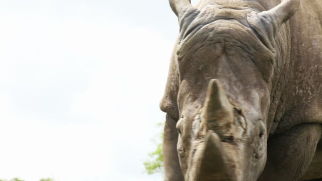 white rhinocerous - horned stock videos & royalty-free footage