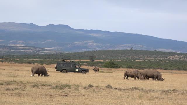 White rhinos and safari car