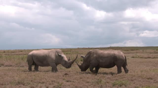 white rhinos confrontation on dry plain - rhinoceros stock videos & royalty-free footage