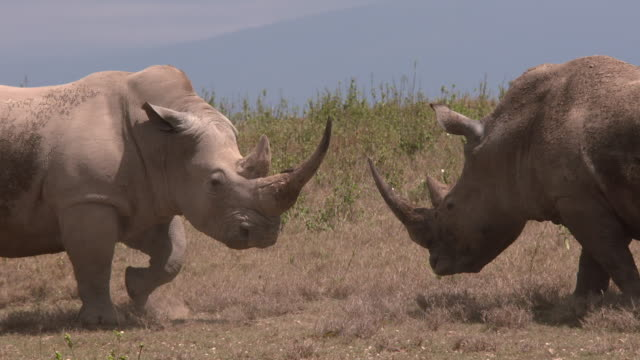 white rhinos confrontation on dry plain - rhinoceros stock videos and b-roll footage