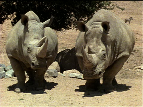 vídeos de stock e filmes b-roll de white rhinos stand side by side. - captive animals