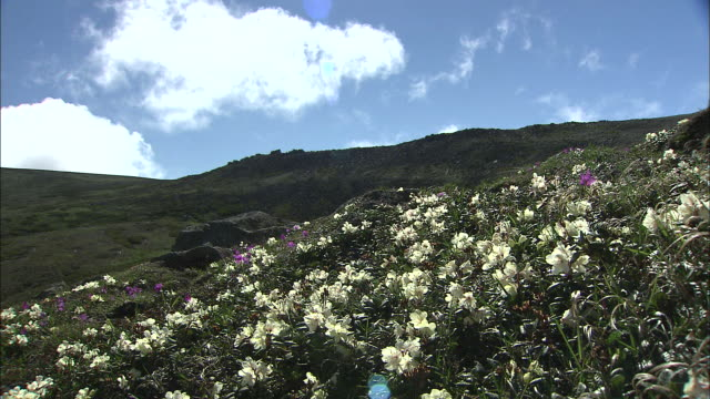 white rhododendron aureum flowers growing on mountainside, japan - rhododendron stock videos and b-roll footage