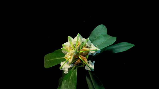 white rhododendron flower decay time lapse - しおれている点の映像素材/bロール