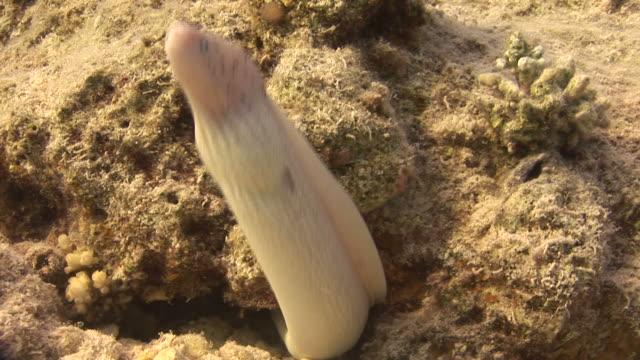 White ribbon eel (Pseudechidna brummeri). Red Sea