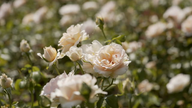 a white rose flower - flowerbed stock videos & royalty-free footage