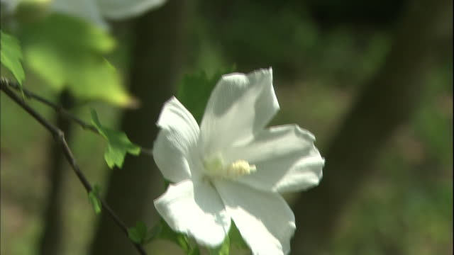 vídeos de stock e filmes b-roll de white rose of sharon flowers bloom in japan. - estame
