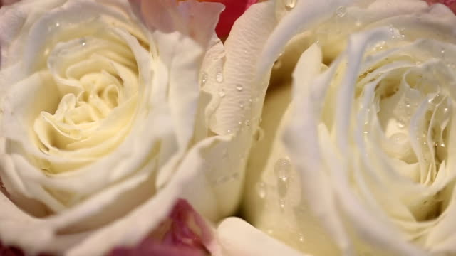 white rose petals with rain drops closeup. - single rose stock videos & royalty-free footage