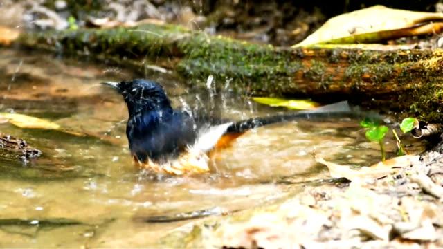vídeos y material grabado en eventos de stock de pájaro blanco lomiescarlata shamaird salpicaduras. - baño para pájaros