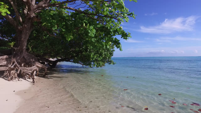 stockvideo's en b-roll-footage met white sand beach with a tree - huahine
