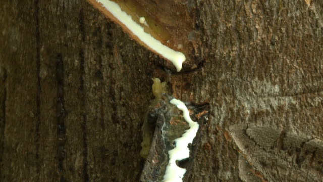 white sap dripping down tree - rubber stock videos & royalty-free footage