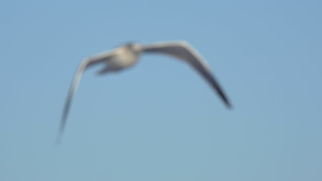 a white seagull flies near the pacific ocean. - slow motion - sea water bird stock videos & royalty-free footage