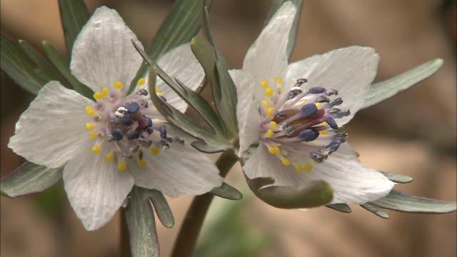 white setsubun-sou flowers open to reveal purple and yellow pistils. - ståndare bildbanksvideor och videomaterial från bakom kulisserna