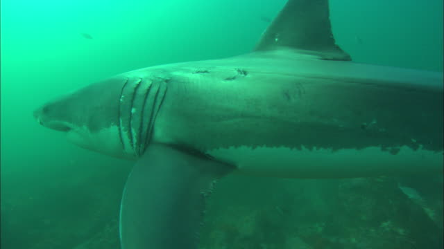 white shark, approach from canyon pass near cameraman, south africa, gansbaai  - aqualung diving equipment stock videos & royalty-free footage