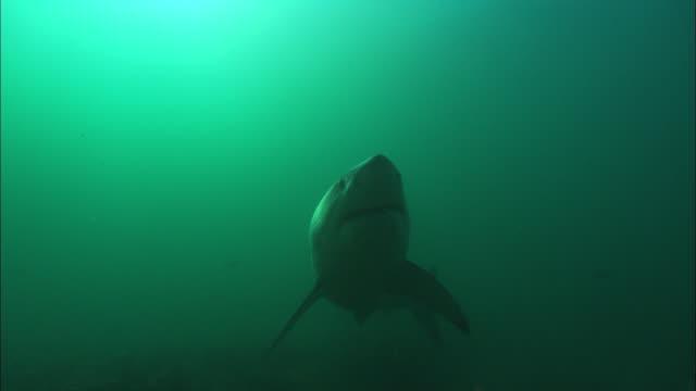 white shark, approaching, south africa, gansbaai  - vicino video stock e b–roll