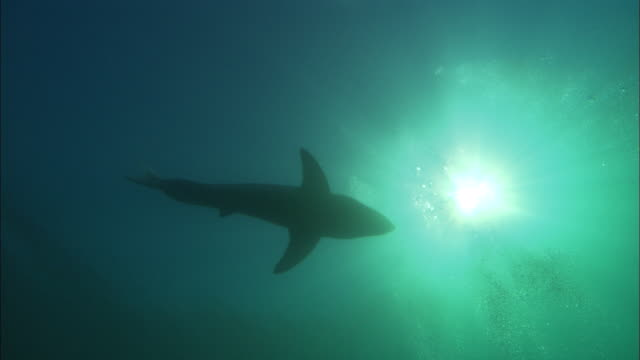white shark, silhouette, south africa, gansbaai  - south africa stock videos & royalty-free footage