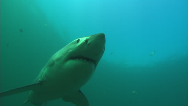 white shark, south africa, gansbaai  - mittelgroße tiergruppe stock-videos und b-roll-filmmaterial
