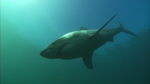 white shark, south africa, gansbaai  - gruppo medio di animali video stock e b–roll