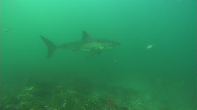 White shark, South Africa, Gansbaai