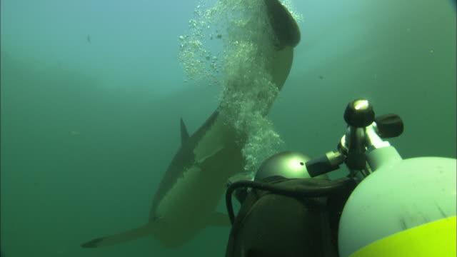 vídeos y material grabado en eventos de stock de white shark, south africa, gansbaai  - escafandra autónoma