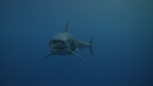 stockvideo's en b-roll-footage met ms cu white shark swimming (shark is mechanical) - dichterbij komen