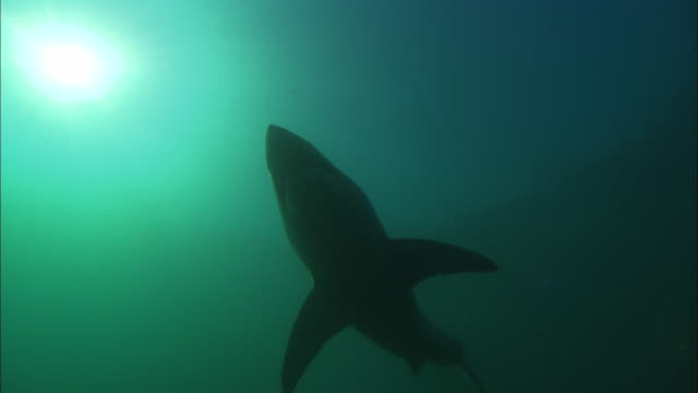 white shark, swims to bait,  south africa, gansbaai  - south africa stock videos & royalty-free footage