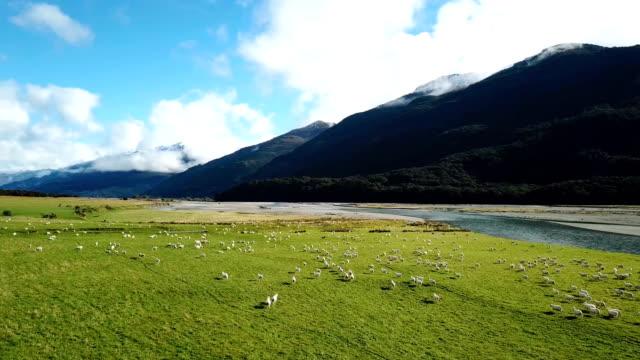 vidéos et rushes de moutons blancs s'exécutant sur le vert gazon en vue de dessus - nouvelle zélande