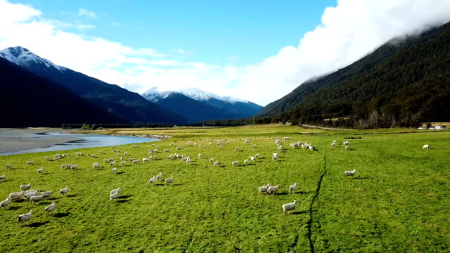 white sheeps running on green grass in top view - sheep stock videos & royalty-free footage
