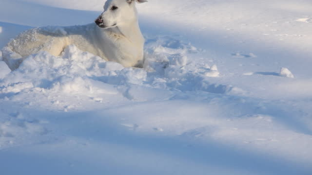 ws tu white shepherd dog lying in snow / richmond, virginia, usa - see other clips from this shoot 1760 stock videos & royalty-free footage