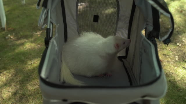 white skunk in pet stroller - gabbietta per animali video stock e b–roll
