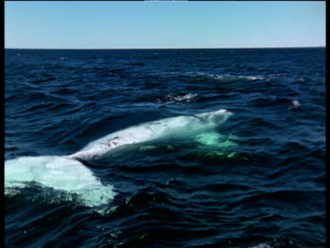 White southern right whale at surface, Valdes Peninsula