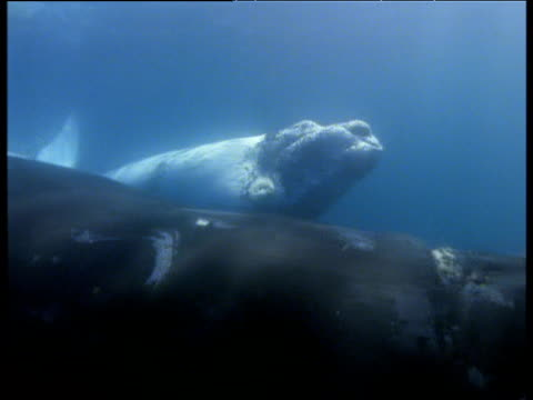 white southern right whale calf and mother swim underwater, valdes peninsula - southern right whale stock videos & royalty-free footage