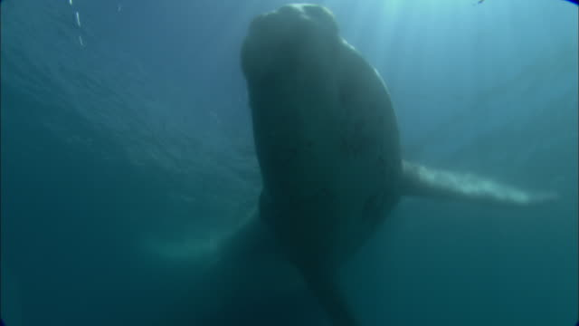 White southern right whale (Eubalaena australis) calf swims in ocean, Patagonia, Argentina