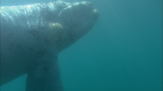white southern right whale (eubalaena australis) calf swims in ocean, patagonia, argentina - southern right whale stock videos & royalty-free footage