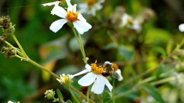 Weiße Spinne greift Bienen