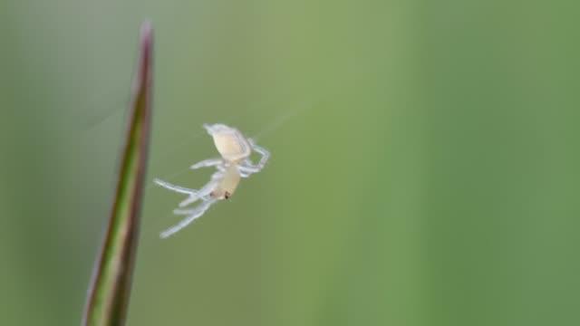 草の葉に白いクモ スピン web - blade of grass点の映像素材/bロール