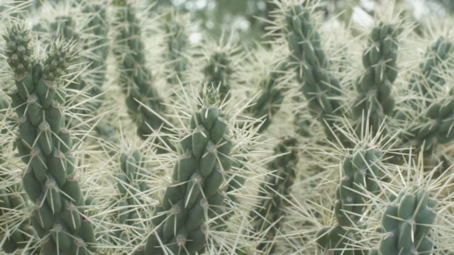 White spiky spines of chain link cactus