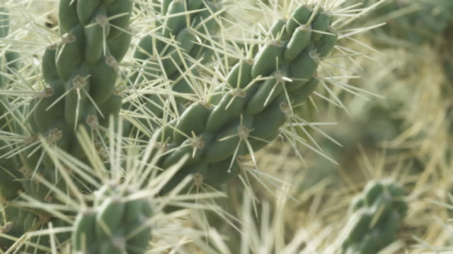 White spines stick out of flesh of chain link cacti