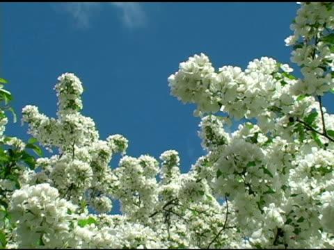 vidéos et rushes de fleurs de printemps blanc 3 - arbre à feuilles caduques