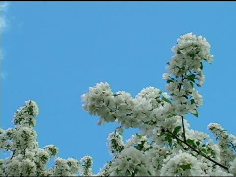vidéos et rushes de fleurs de printemps blanc 5 - arbre à feuilles caduques