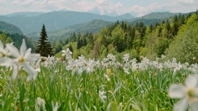 ws white spring flowers in sunny,idyllic meadow with mountains in background,slovenia - daffodil stock videos & royalty-free footage