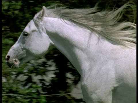 white stallion runs and shakes head, uk - galopp gangart von tieren stock-videos und b-roll-filmmaterial