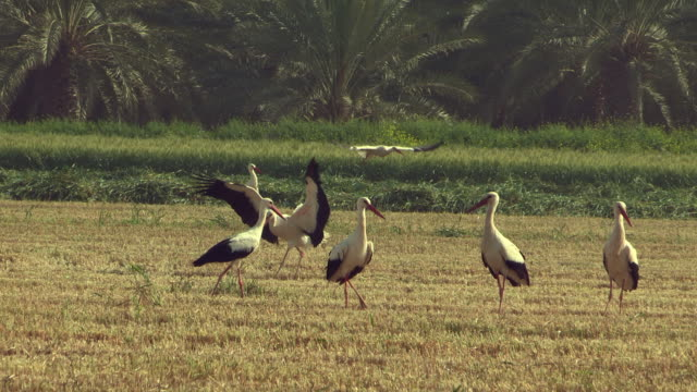 white stork (ciconia ciconia)- a large flock during the spring migration from africa to europe, resting in wheat field, israel - flock of birds stock videos & royalty-free footage