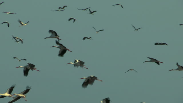 vidéos et rushes de white stork (ciconia ciconia)- a large flock in flight during the spring migration from africa to europe - groupe d'animaux