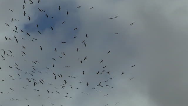 White Stork (Ciconia ciconia)- a large flock over Eilat Mountains during the spring migration from Africa to Europe
